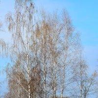 Ласковый апрель целует нежно шелковых березок кружева. :: Paparazzi