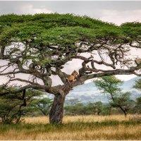 """Высоко сижу....далеко гляжу!!!"". Танзания! :: Александр Вивчарик"