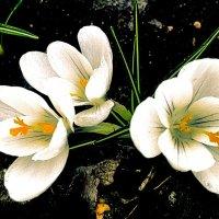 Первый весенний цвет :: Евгения Eva