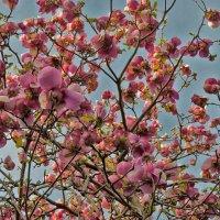 Цветет магнолия...! :: Ирина Шарапова