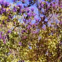 Сиреневый сад :: Джанета Камская
