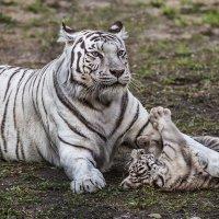 Тигр :: Nn semonov_nn