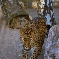 Леопард дальневосточный. :: cfysx