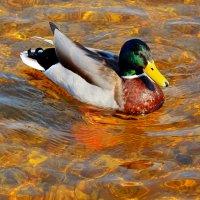 в золотой водичке :: linnud