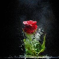 Роза :: GangPhoto Ганиченко