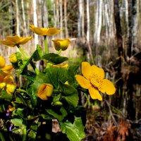 весенний лес :: Аксана Еськина