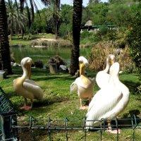 Пеликаны :: Герович Лилия