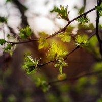 молодая зелень :: Анна Семенова