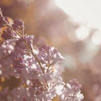 Сирень в лучах солнца :: Иван Лазаренко