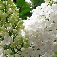 Цветы моего двора :: Александр Скамо