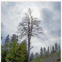 дерево :: Людмила Н