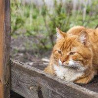 Рыжий кот :: Ksenia Sun