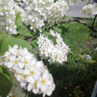 Черемуха цветет :: Serg
