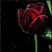 Гордый тюльпан :: Нина Корешкова
