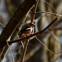 дубонос в весеннем лесу :: linnud