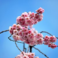 Розовый вальс Весны ... :: Владимир Икомацких