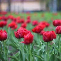 Тюльпаны :: Лина Свиридова