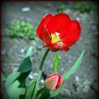 Тюльпана песнь мажорная :: Андрей Заломленков