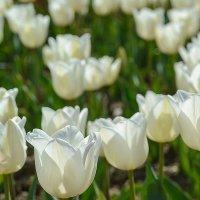На параде тюльпанов :: Сергей Брагин