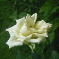 царица цветов :: tgtyjdrf