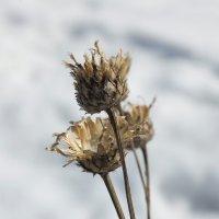 Чертополох :: Arcadii Mayrhofen