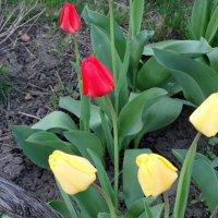 Апрель,вечер,тюльпаны... :: Тамара (st.tamara)