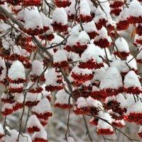 Зимний наряд рябины :: Сергей Чиняев