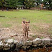 Нара парк оленей :: Swetlana V