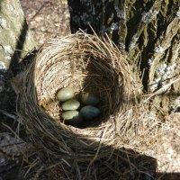 Гнездо дрозда :: Ольга