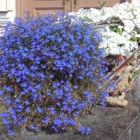 Синее с белым... :: Мила
