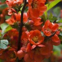 Маленький кустик. У нас во дворе. Буйно цветёт... :: Ольга Винницкая (Olenka)