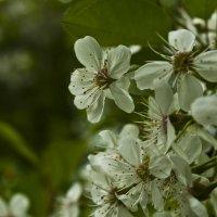 Апрель ... цветение ... :: Ольга Винницкая