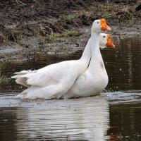 И у гусаков бывает любовь ! :: Hаталья Беклова