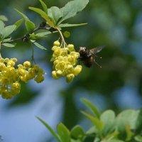 Перед посадкой на цветы барбариса. Ежемуха свирепая. :: Balakhnina Irina