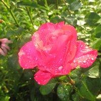Розовая нежность. :: Valentina