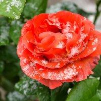 Роза в снегу :: Милешкин Владимир Алексеевич