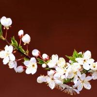 Вишня цветёт :: Paparazzi