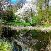 Зеркало в лесопарке. Любуясь своим отраженьем, белая сакура в воду смотрела... :: Nina Yudicheva