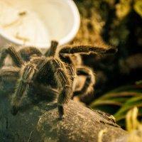 """Испанский"" шаг волосатого паука :: Billie Fox"