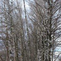 Березки весной :: Наталья Лунева