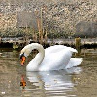 Белый лебедь :: Татьяна Кретова