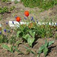 Первые тюльпаны у дома... :: Наиля