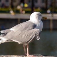 Чайка на берегу озера, Гаага :: Witalij Loewin