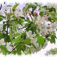 """""""Яблони в цвету - весны творенье...."""" :: Валентина ツ ღ✿ღ"""
