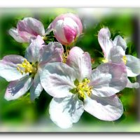 Яблони в цвету...Какое чудо! :: Чария Зоя