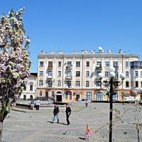 Біла Сакура цвіте :: Степан Карачко
