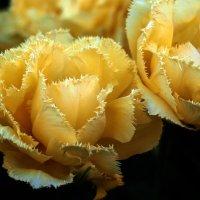 Желтые тюльпаны :: Олег Шендерюк