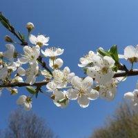 Сады цветут! :: Ирина Олехнович