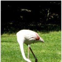 Белый фламинго. :: Герович Лилия
