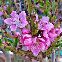 Цветы персика. :: Валерия Комова